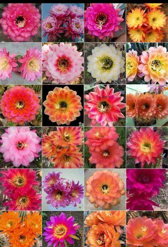 丽花办公桌阳台花卉盆栽大花品种 随机五个花色有根小球易开花品种