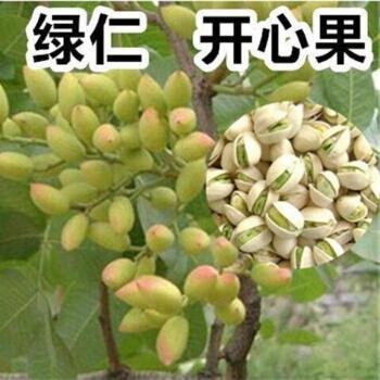 柏农 开心果苗南北方种植果苗当年结果开心果树苗盆栽