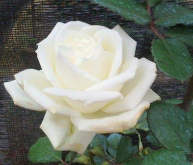 百花谷园艺大花香水白玫瑰浓香花苗庭院阳台木本盆栽