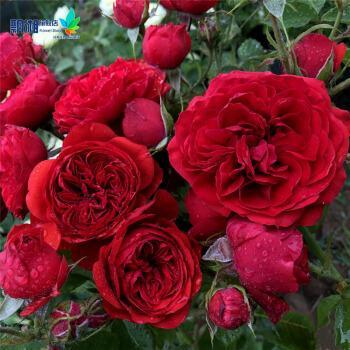 欧月苗 丰花月季 大地主/弗朗索瓦拉伯雷 勤花 月季盆栽芳香多头 大