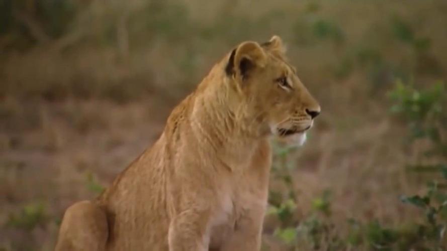 动物世界水鹿在鳄鱼和狮子的对抗中幸存下来
