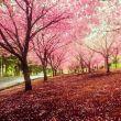 樱花_美丽的百度云分享